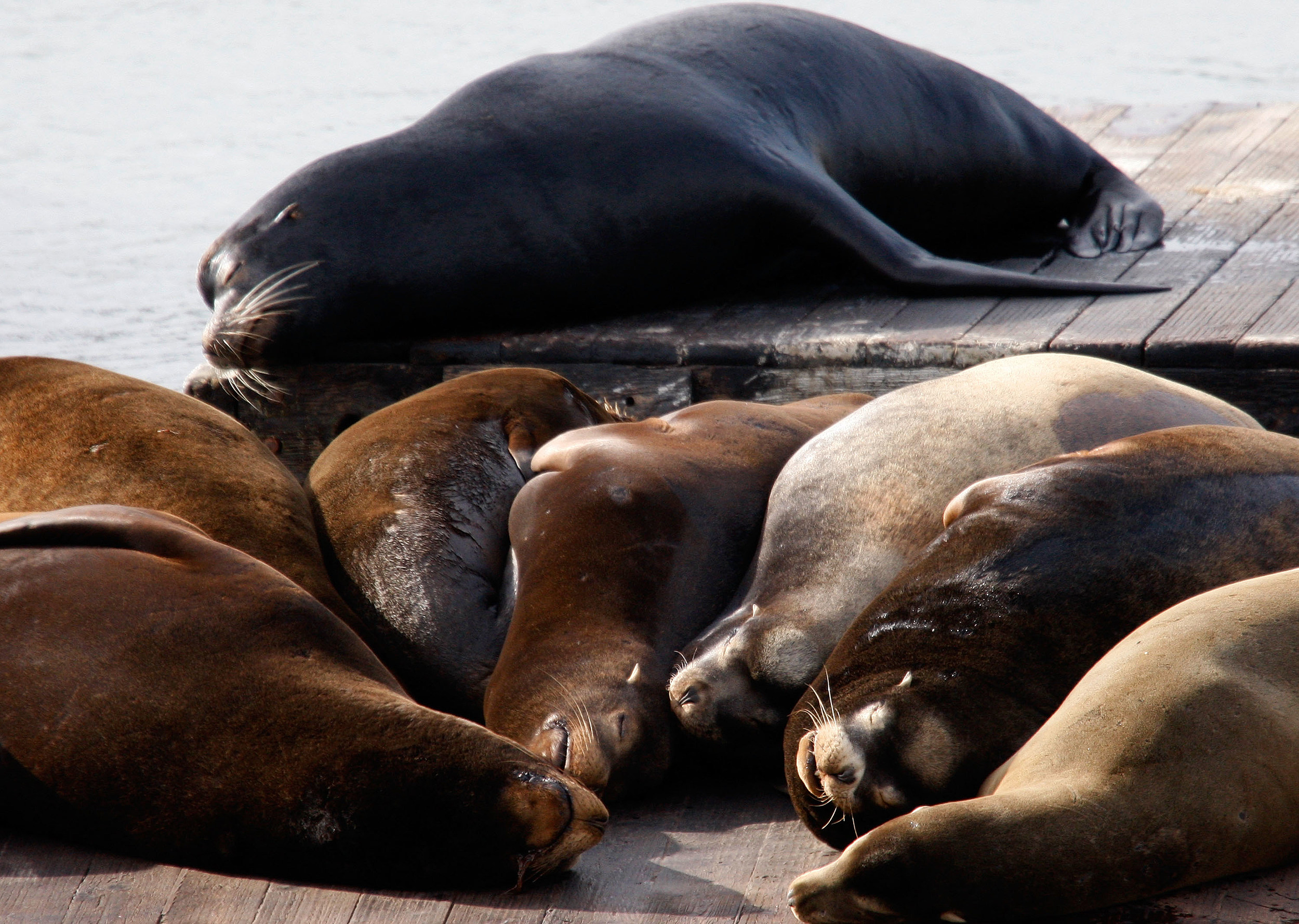 San Francisco Sea Lions Become A Favorite Local Attraction